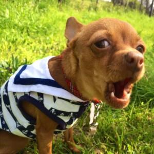 夏服を着た犬、さくら。