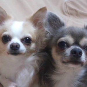 チワワの太郎と次郎の写真