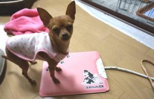 ピンクの布は猫袋。 足元はホカホカマット。 寒さに超弱いさくら…。