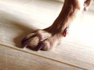 爪切り後のさくらの足