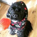 雨の日はスヌードお散歩。 春のごちそう、イチゴ大好き。 アリエル「ひとくちください!」