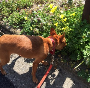 いつものお散歩コースもお花が。 そしてばい菌なども活動中です!