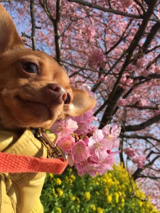 2月に咲く河津桜だけど、 ミツバチさんもいたよ。