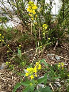 春の多摩川河川敷。 菜の花がたくさん咲いています。 やわらかくておいしいのです。