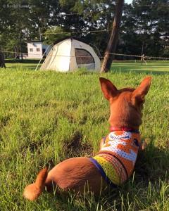テント設営中、休憩してるさくら。 5mリードを調整しながら使用。