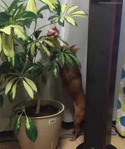 観葉植物の上、発見しました! 犬も人間も集中する最高のゲーム。