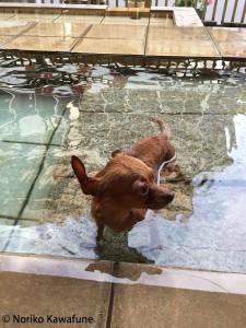 犬用温泉なんかもありますね! 入る前に必ず身体を綺麗にして。 抜け毛も取って、すっきり入浴!